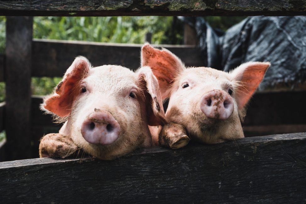 genetic pigs